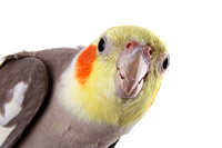 Cockatiel Portraits